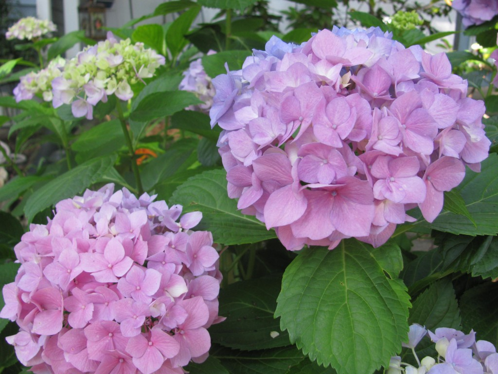 Hydrangeas from my garden. More a summer flower, but so lovely!