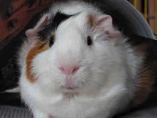 Bob the guinea pig, via wikimedia commons (public domain)