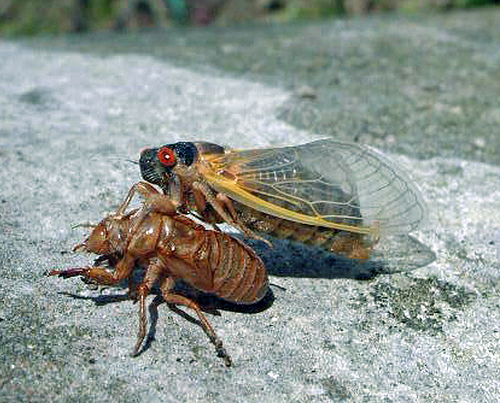 Cicada molting. Image from USDA.gov