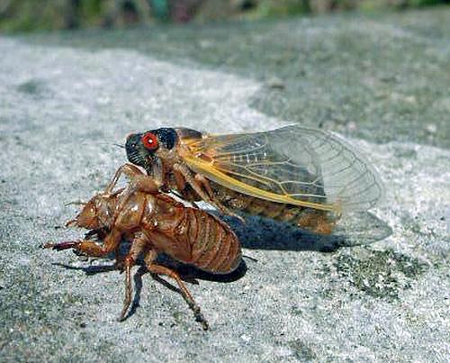 Cicada molting. Image from USDA.gov