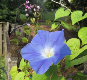 morning glory 2014